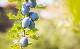 Prugna su un ramo in un frutteto Fotografie Stock Libere da Diritti