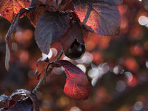 Prugna in un albero Foglie rosso scuro Fotografia Stock