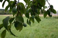 Prugna verde nel giardino di estate del ` degli agricoltori Fotografie Stock Libere da Diritti
