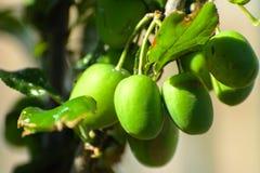 Prugna verde sull'albero nel giardino Immagine Stock