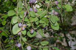 Prugne blu mature fresche sull'albero Fotografie Stock