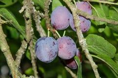 Prugne blu mature fresche sull'albero Fotografie Stock Libere da Diritti