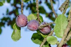 Prugne blu sull'albero Fotografie Stock Libere da Diritti