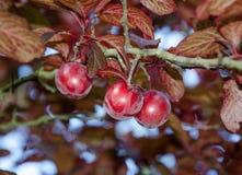 Prugne da un prunus cerasifera 'Pissardii' Fotografia Stock Libera da Diritti