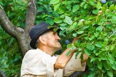 Prugne di raccolto del coltivatore Fotografia Stock