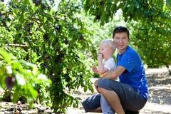 Prugne di raccolto del figlio e del padre Fotografia Stock Libera da Diritti
