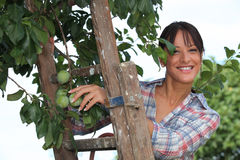 Prugne di raccolto della donna Fotografia Stock