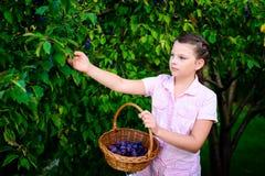 Prugne di raccolto della ragazza da un albero Fotografia Stock