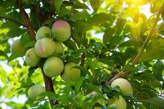 Prugne di Victoria sul ramo dell'albero Fotografie Stock Libere da Diritti