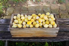 Prugne gialle fresche Frutti maturi in una scatola di legno sul fondo dei bordi fotografia stock libera da diritti