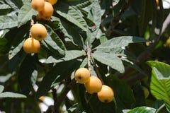 Prugne maltesi su un albero Immagini Stock