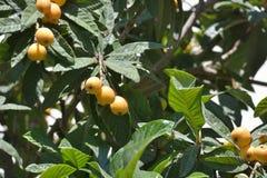 Prugne maltesi su un albero Immagine Stock Libera da Diritti