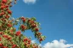 Prugne mature sull'albero Fotografie Stock