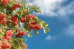 Prugne mature sull'albero Fotografie Stock Libere da Diritti