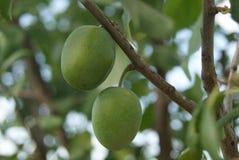 Prugne non mature verdi delle bacche sul ramo di un albero da frutto selvaggio come la fonte per progettazione, pubblicità, stamp Immagine Stock