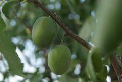 Prugne non mature verdi delle bacche sul ramo di un albero da frutto selvaggio come la fonte per progettazione, pubblicità, stamp Fotografia Stock