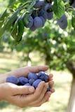Prugne organiche in mani di un agricoltore femminile Fotografie Stock Libere da Diritti