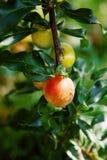 Prugne organiche su un albero, verde Immagine Stock Libera da Diritti