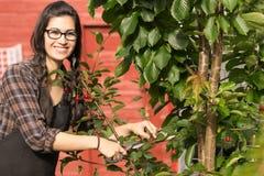 Prugne sorridenti Cherry Tree Backyard Fruit della donna graziosa Immagini Stock