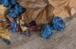 Prugne succose mature su un fondo rustico dell'annata di autunno immagine stock