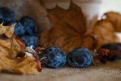 Prugne succose mature su un fondo rustico dell'annata di autunno immagine stock libera da diritti