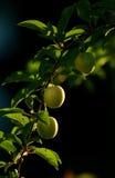 Prugne verdi sull'albero Immagine Stock