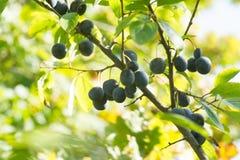 Prugnola o prunus spinosa del prugnolo sul ramo di albero fotografia stock libera da diritti
