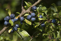 Prugnole (spinosa del prunus) Immagini Stock