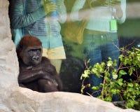 Pruilende Chimpansee royalty-vrije stock afbeelding