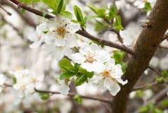 Pruim-boom witte bloemen. Stock Foto