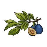 Pruim fruit Vector illustratie Royalty-vrije Stock Fotografie
