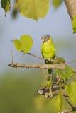 Pruim-geleide parkietvogel in Nepal Royalty-vrije Stock Afbeeldingen