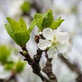 Pruim mooie bloem met witte bloemblaadjes royalty-vrije stock fotografie