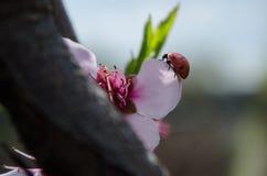 Pruimbloem en ladybeetle Stock Afbeelding