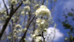 Pruimbloem op boom in aard stock videobeelden