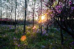 Pruimbloesems met zonsondergang Stock Afbeeldingen