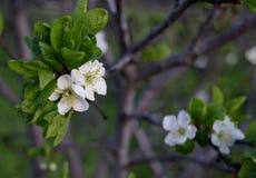 Pruimboom in bloei Royalty-vrije Stock Foto