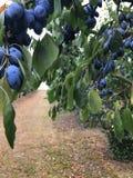 Pruimboom in de tuin stock afbeelding