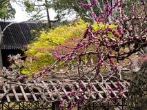 Pruimboom die in klassieke Chinese tuin bloeien stock foto