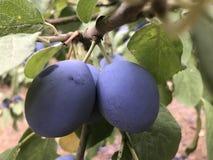 Pruimboom met rijpe pruimen in de tuin royalty-vrije stock foto