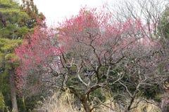 Pruimboom met rode bloesems Stock Afbeelding