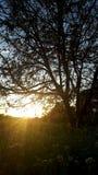 Pruimboom in zonsondergang Royalty-vrije Stock Foto