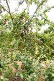Pruimen die bij het Parkside-landbouwbedrijf groeien Stock Foto's