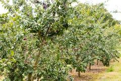 Pruimen die bij het Parkside-landbouwbedrijf groeien Royalty-vrije Stock Fotografie