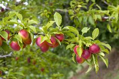 Pruimen op een boom Stock Fotografie