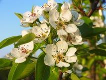 Pruimhuis - domestica van bloemprunus Stock Afbeeldingen
