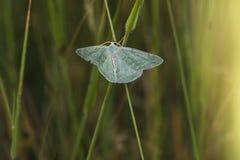 Pruinata vert de Pseudoterpna d'herbe Images libres de droits
