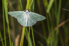 Pruinata vert de Pseudoterpna d'herbe Image libre de droits