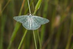 Pruinata vert de Pseudoterpna d'herbe Photographie stock libre de droits