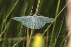 Pruinata vert de Pseudoterpna d'herbe Image stock